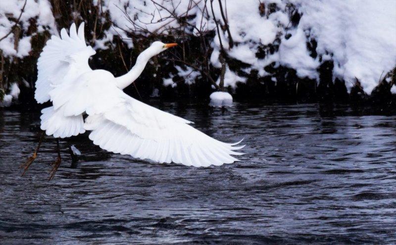 雪解けの川と白鳥